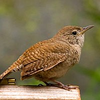 The Willow-Wren
